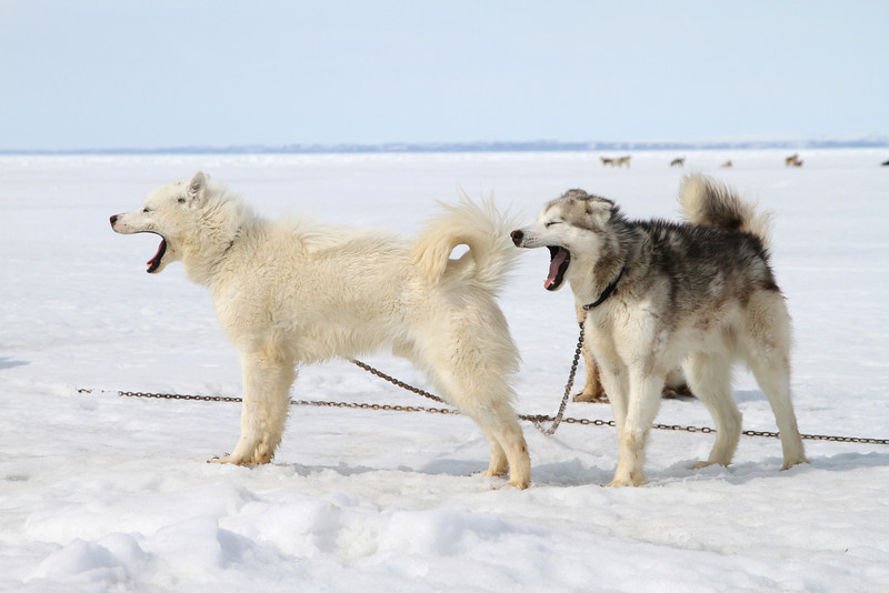 Sled dogs tethered on the sea ice off Pond Inlet
