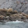 Walruses hauled out on a small islet off Monumental Island