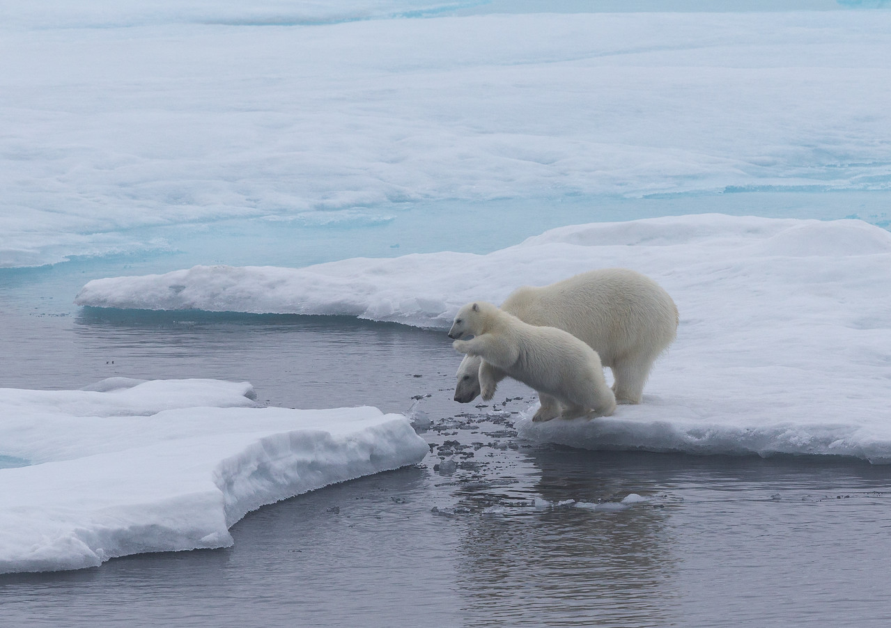 A female polar bear and her seven-month old cub on pack ice off Home Bay.  They were unconcerned by the presence of the ship and the cub was extremely playful.