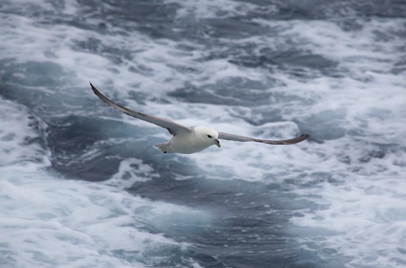 Pale morph Northern Fulmar flying over high seas off Baffin Island