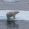 A male polar bear hauling himself onto an ice floe near Home Bay on Baffin Island