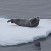 A bearded seal on an ice floe near Home Bay
