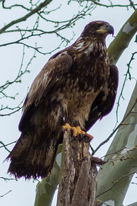 Bagnell Dam Juvenile Bald Eagles-14