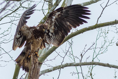 Bagnell Dam Juvenile Bald Eagles-7