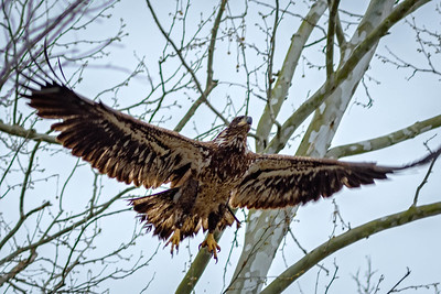 Bagnell Dam Juvenile Bald Eagles-21