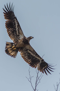 Bagnell Dam Juvenile Bald Eagles-63