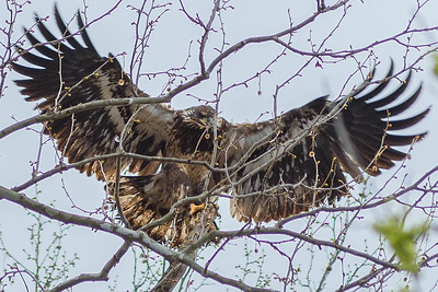 Bagnell Dam Juvenile Bald Eagles-71