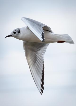 Bagnell Gulls