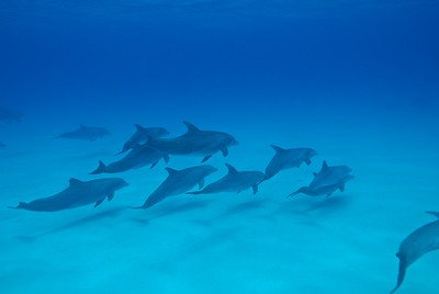 Pod of Atlantic Spotted Dolphins, Bahamas