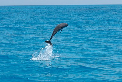 Breaching Atlantic Spotted Dolphin, Bahamas