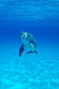 Atlantic Spotted Dolphin, Bahamas