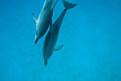 Atlantic Spotted Dolphins, Bahamas