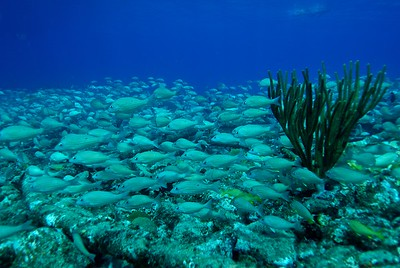 A school of fish near the Bahamas