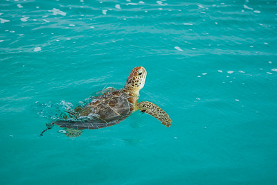 This turtle started coming up for air more often, an indication that he was tiring before being netted