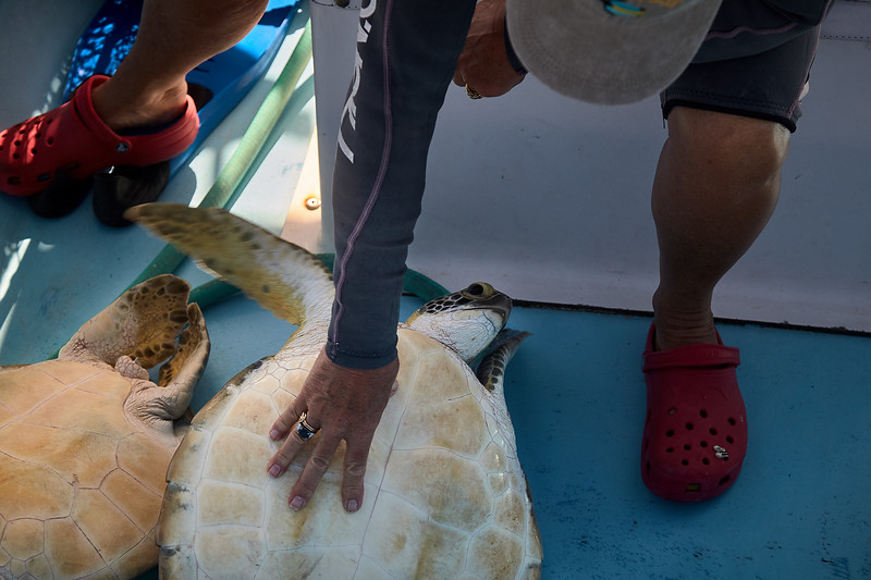 Calming the newly captured turtle