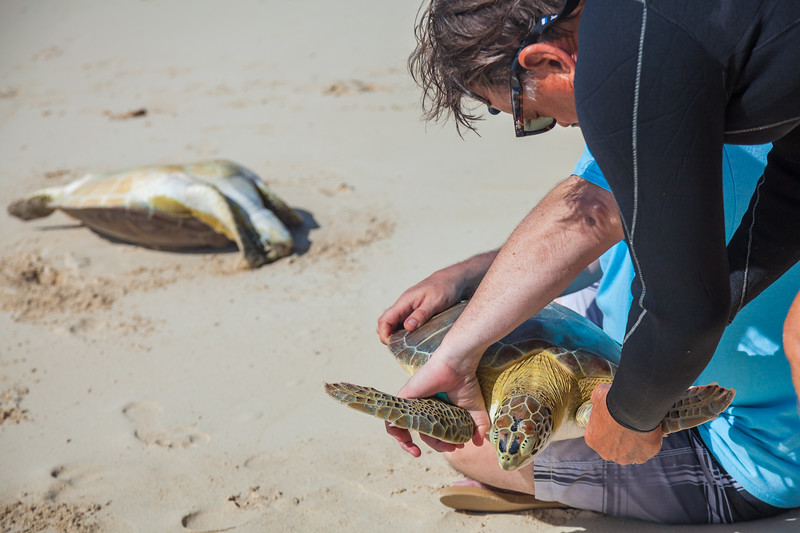 Steve showing a volunteer bystander how to hold the turtle for measurements