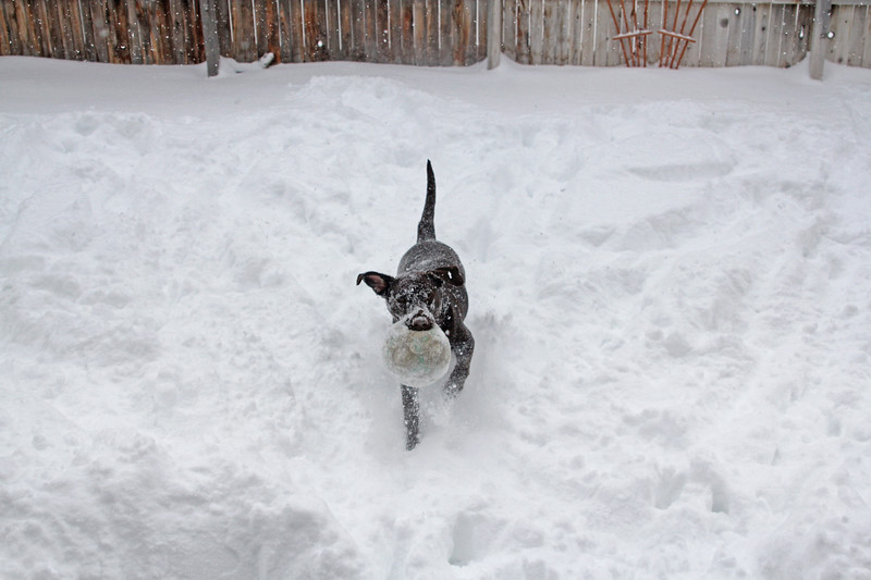 Bailey Choc Lab playing fetch in the snow