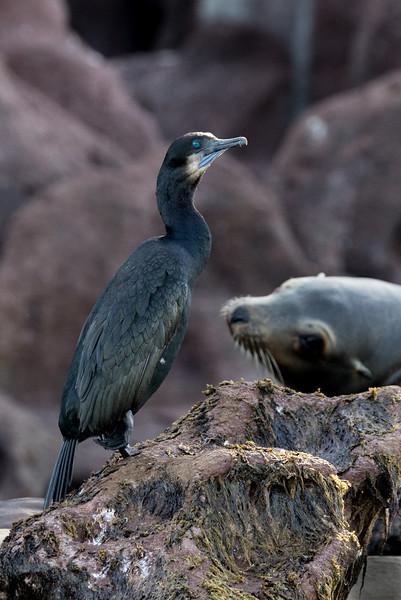 Brandt's Cormorant on Los Islotes