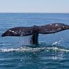 Grey Whale fluke