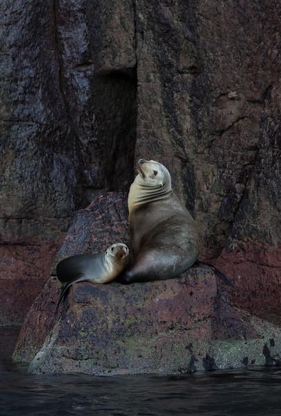 California Sea Lion and pup on Los Islotes