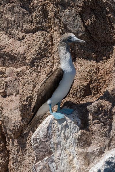 Blue-footed Booby on Isla Las Animas