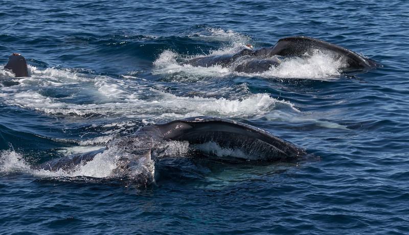 Lunge-feeding Humpback Whales in La Paz Bay