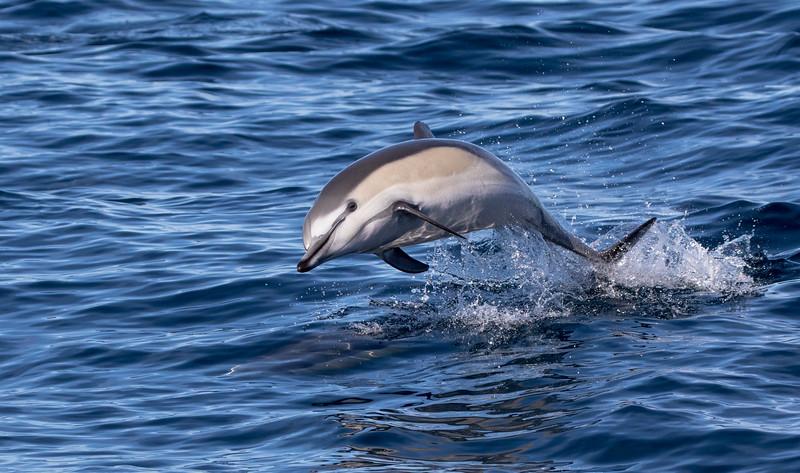 Short-beaked Common Dolphin riding the wake of the boat