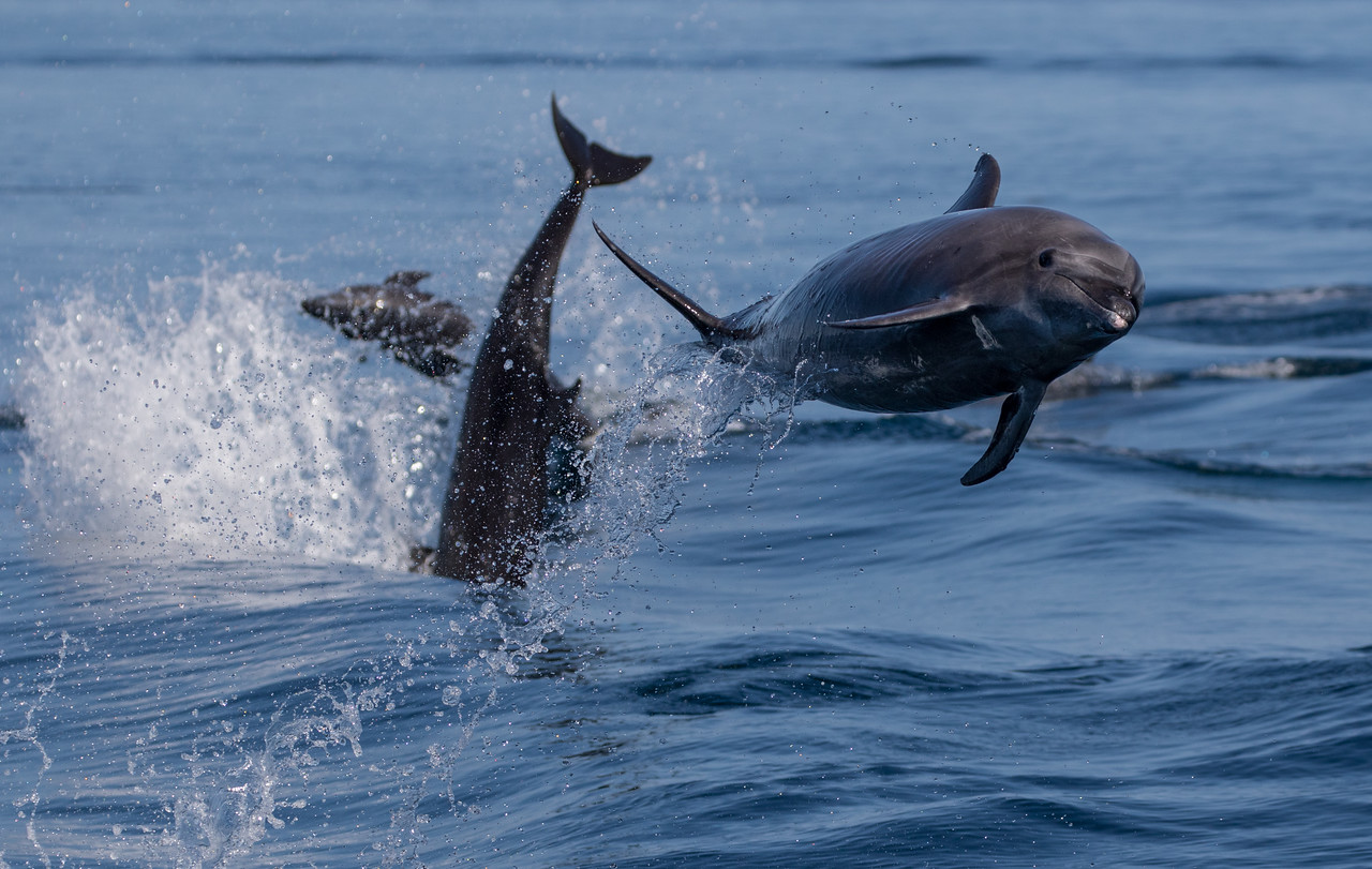 Bottlenose Dolphins playing in the wake of the boat