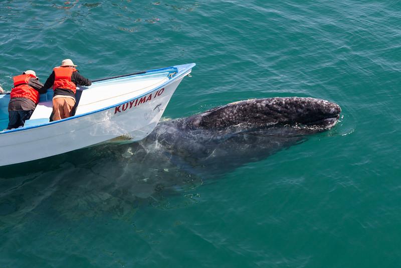 Grey Whale surfacing under a panga
