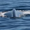 Blue Whale vertebrae