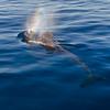 Short-finned Pilot Whale rain-blow