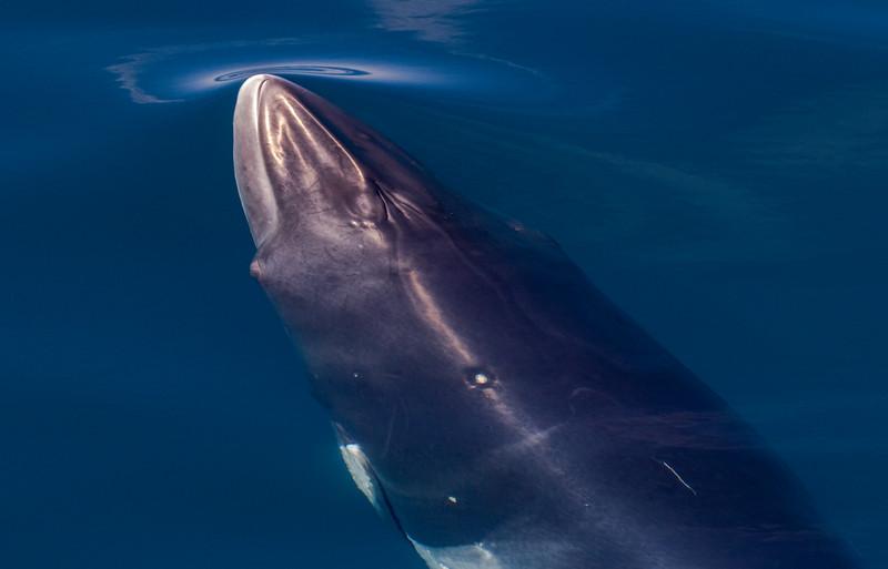 Minke Whale in flat calm sea off the Pacific coast of the Baja Peninsula