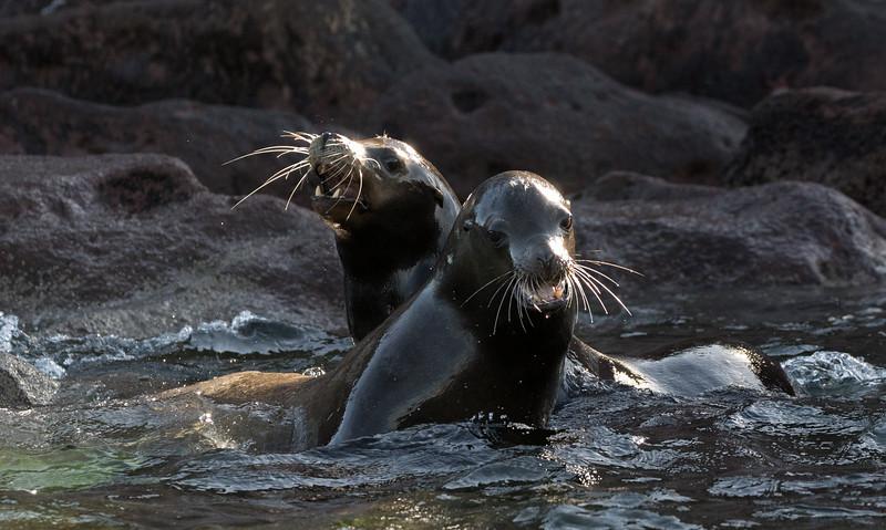 California Sea Lions squabbling in the sea off Los Islotes