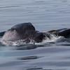 Fin Whale lunge-feeding