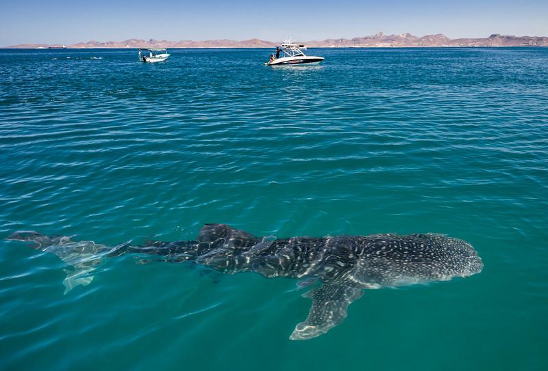 Whale Shark in La Paz Bay