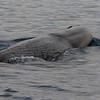Female Sperm Whale