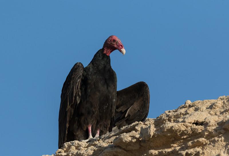 Turkey Vulture at Punta Colorada, Isla San Jose
