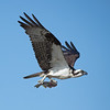 An Osprey returning to its nest on Shelter Island with a Calico Bass