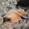 This Guadalupe Fur Seal had found a very comfortable place for a snooze