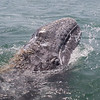 Playful Grey Whale calf