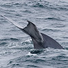 Our first Blue Whale of the trip, along the Pacific coast