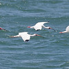 White Ibis flying across San Ignacio Lagoon