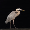 A Great Blue Heron waiting for a fish to appear