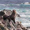 A female Guadalupe Fur Seal on Isla San Benitos