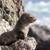 A Guadalupe Fur Seal pup watching for its mother