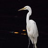 A Great Egret on one of the bait fish platforms in San Diego