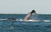 Diving Deep - California Gray Whales in Guerrero Negro Baja California