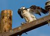 Osprey with a fresh Catch - Guerrero Negro Baja California