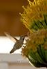 Humming Bird enjoying some Dinner - Geurrero Negro Baja California