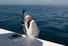 Mako Shark trying to jump into the Boat - Congo's Awesome Sportfishing Charters - East Cape, Los Barriles, Baja California, Mexico